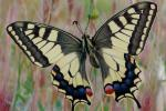 Papilio machaon - Machaon